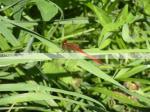 Cherry Faced Meadowhark, Meadowhawk, Dragonfly, Dragon Fly