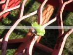 Tree Frog, Expanded Steel, Tree Frog on Metal,