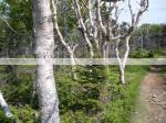 Birch Trees, White Birch, Birch in Cape Breton, Cape Breton, Skyline Trail, Highlands