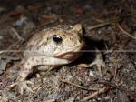 HD Toad, Toad, North American Toad, High Quality Toad Picture, Driftwood Provincial Park Wildlife