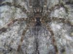 Wolf Spider, Spider, Spider Upclose Pic, Spider Macro